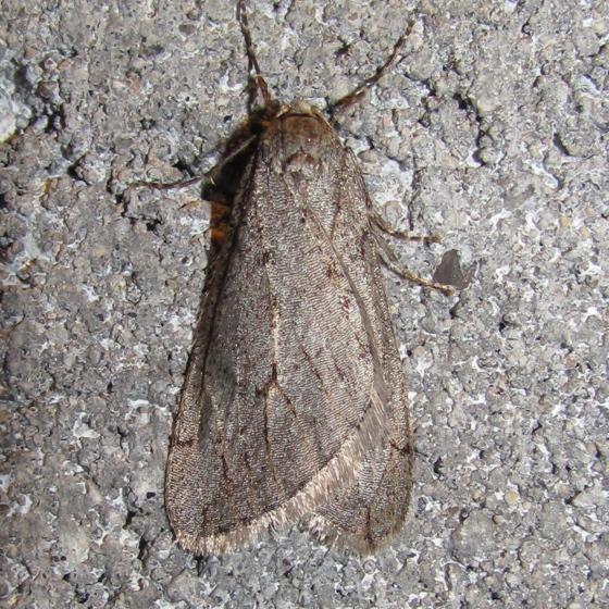 Spring Cankerworm Moth, #6662 - Paleacrita vernata - male