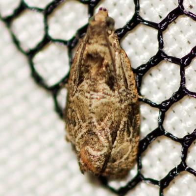 Raspberry Leafroller Moth   - Hodges #2817 - Olethreutes permundana