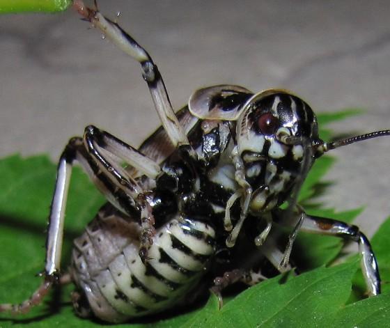 cricket - Cyphoderris monstrosa - male