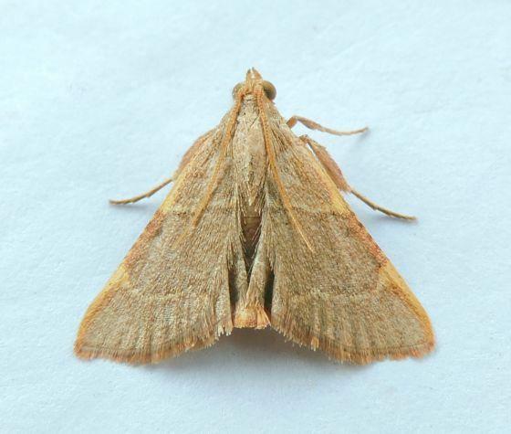 Pennsylvania Moth - Hypsopygia binodulalis