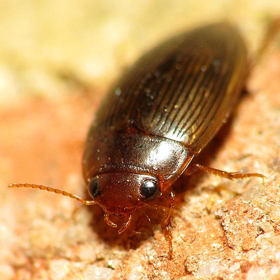Small Flat Oval - Copelatus glyphicus