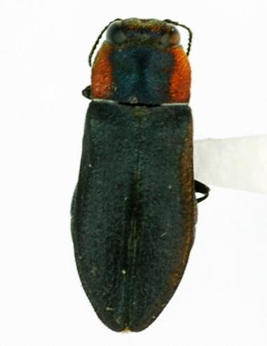 Anthaxia (Haplanthaxia) viridicornis - Anthaxia viridicornis