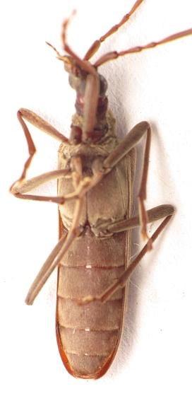 Cerambycidae - Centrodera sublineata