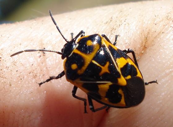 Harlequin beetle ?? - Murgantia histrionica