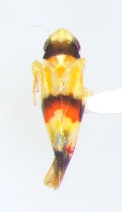 Cicadellid - Erythroneura integra