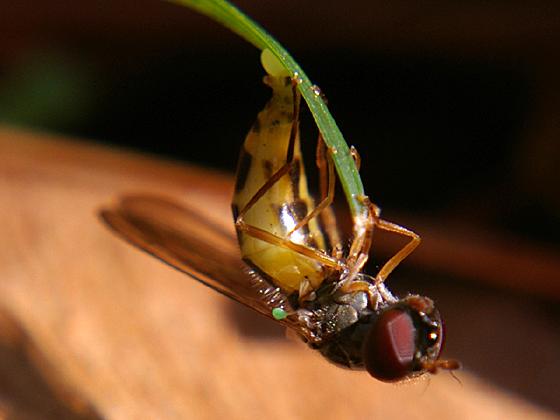 Syrphid Fly (laying egg) - Melanostoma mellinum - female