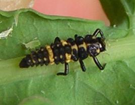 Lady beetle larva with prey - Day 5 - Coleomegilla maculata