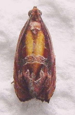 Florida Moth - Zomaria rosaochreana