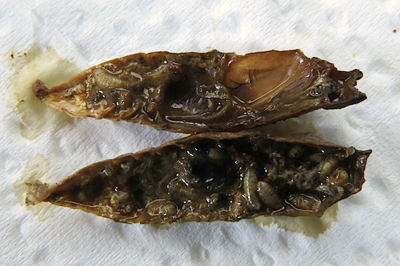 Parasitoids of Anise Swallowtail