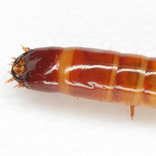 w-worm