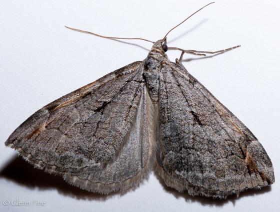 Treble-bar Moth - Aplocera plagiata
