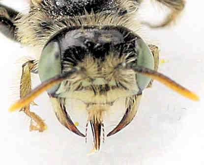 Bee ? - Calliopsis subalpina - male