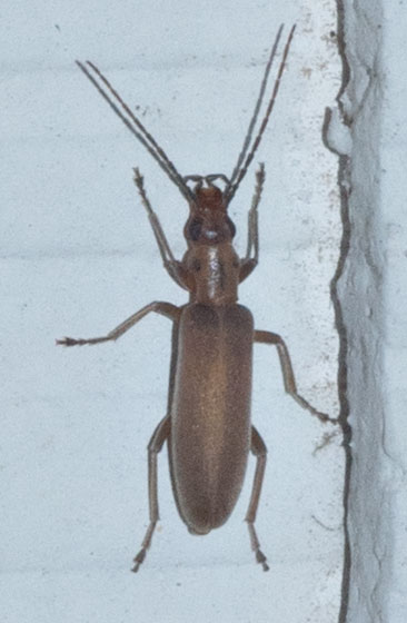 Beetle - Oxacis trimaculata