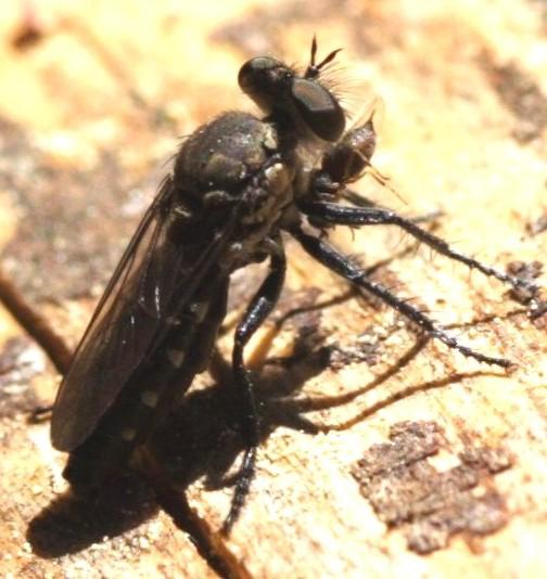 Dasypogoninae?? - Nannocyrtopogon atripes