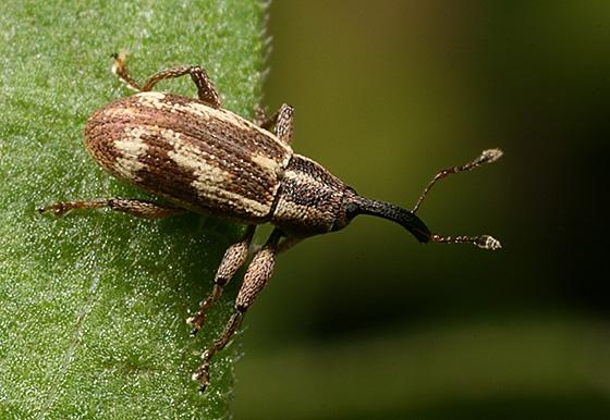 Weevil - Anthonomus elongatus