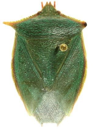 Loxa viridis