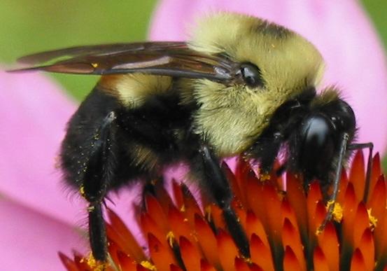 bumblebee - Bombus griseocollis - male