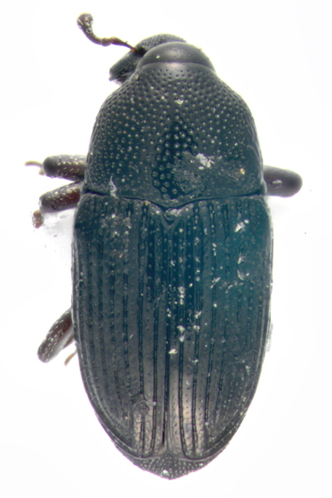 Curculionidae, dorsal - Baris