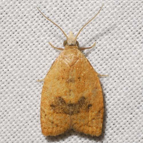 The Batman Moth - Sparganothoides lentiginosana