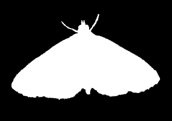 Pyralid Moth Silhouette 1