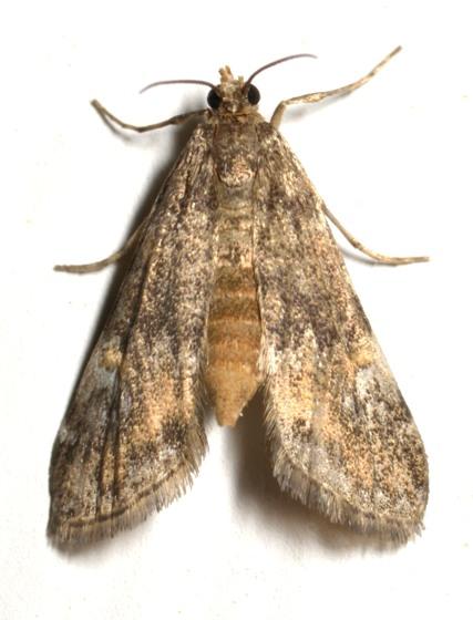 2013-05-15-lep1 - Elophila obliteralis