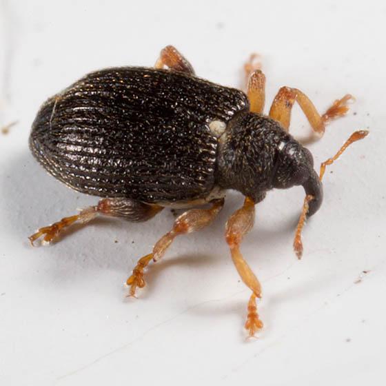 Curculionidae ? - Isochnus sequensi