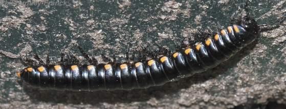 Millipede - Harpaphe haydeniana