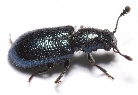Necrobia violacea - Cosmopolitan Blue Bone Beetle - Necrobia violacea
