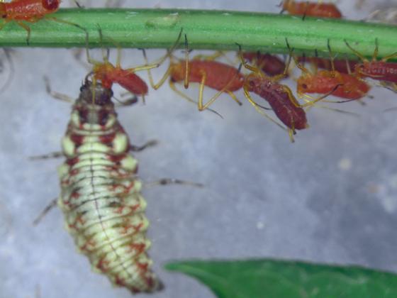 Green lacewing larva sticking aphid - Chrysoperla plorabunda