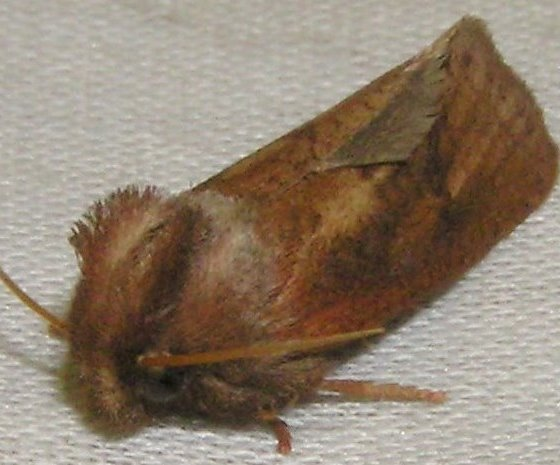 Fluffy - Acrolophus plumifrontella