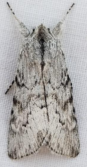 Supralathosea baboquivariensis? - Supralathosea baboquivariensis