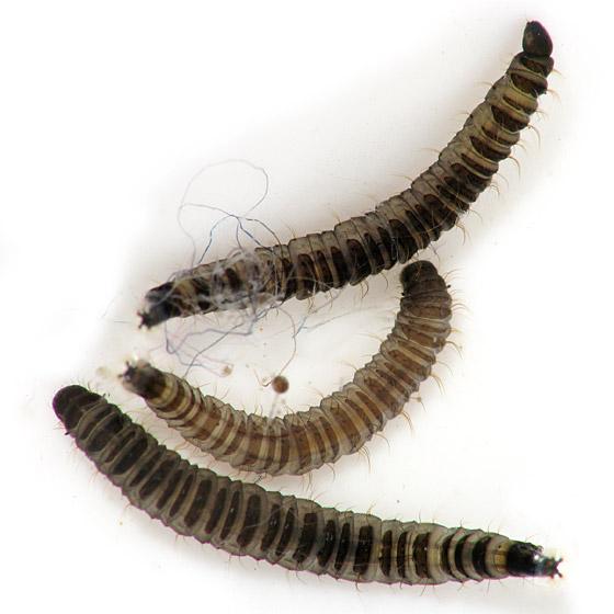 Moth Fly Larvae - Clogmia albipunctata