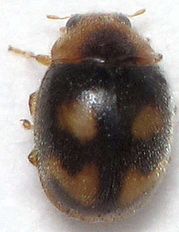 Unknown Beetle - Diomus amabilis