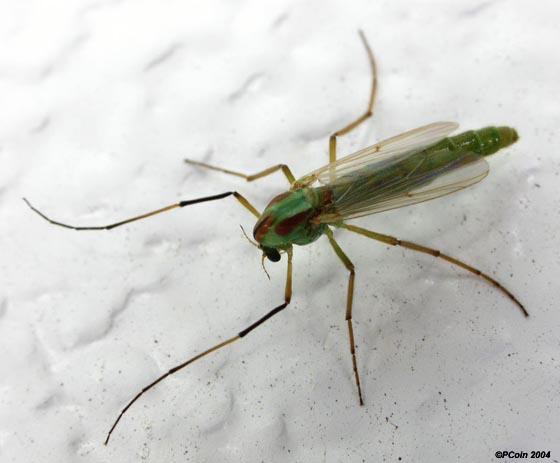 Green Midge, Tanytarsus? - Axarus - female