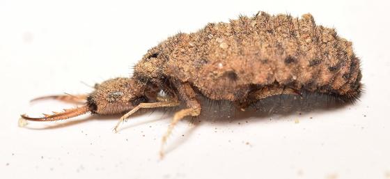 Myrmeleon larvae  - Myrmeleon