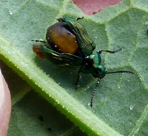 parasitized beetle?