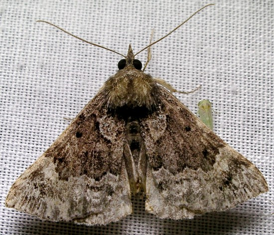 moth - Hypena palparia