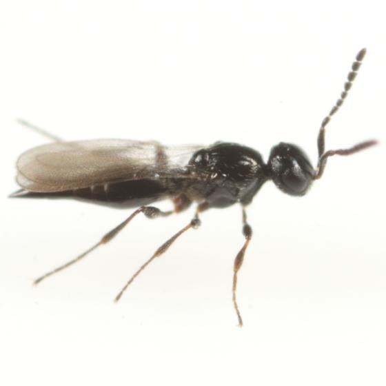 Platygaster tephrosiae - female
