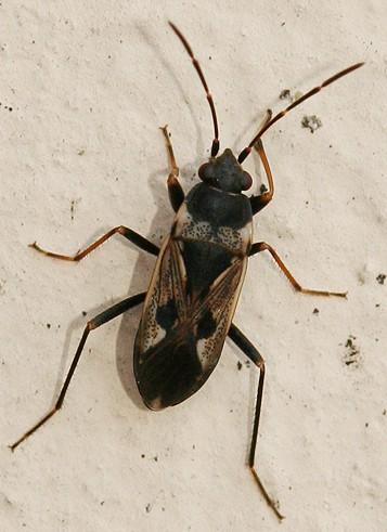 True Bug - Rhyparochromus vulgaris - BugGuide Net