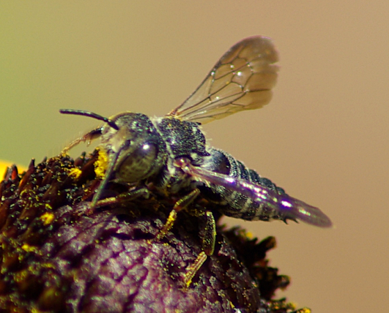 Bee - Coelioxys - male