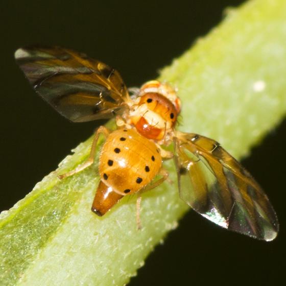 Fruit Fly  - Tomoplagia obliqua - female