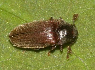 small beetle - Aulonothroscus constrictor