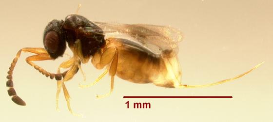 Parasitic Wasp 17 (July2010) - Ceraphron