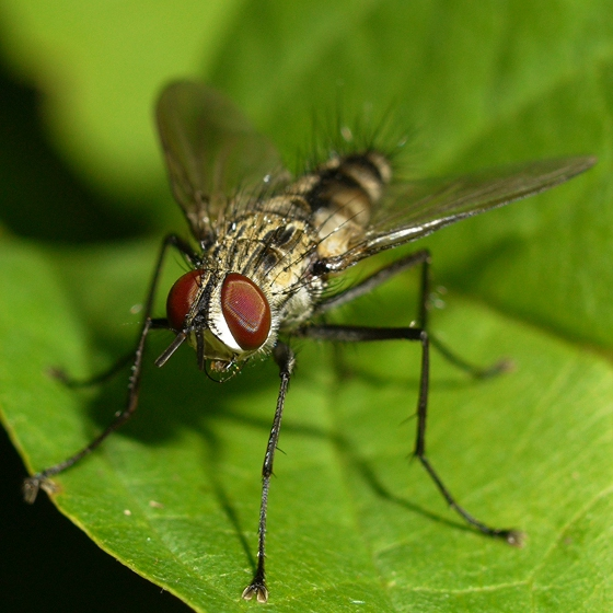fly - Calolydella lathami