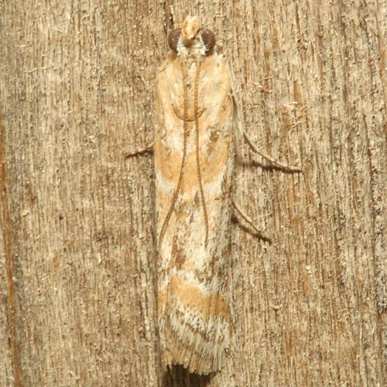 Moth - Ancylosis morrisonella