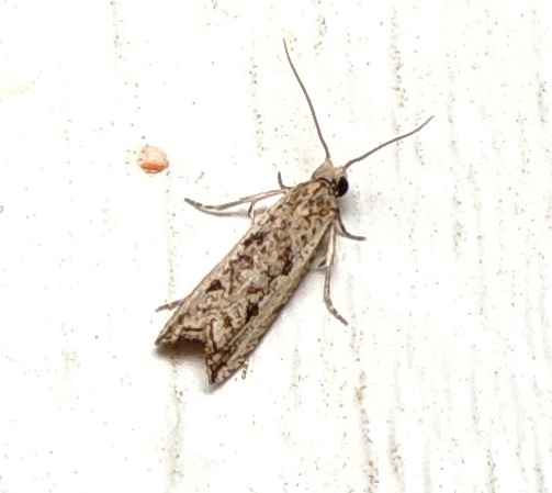 little  Bactria looking moth - Bactra