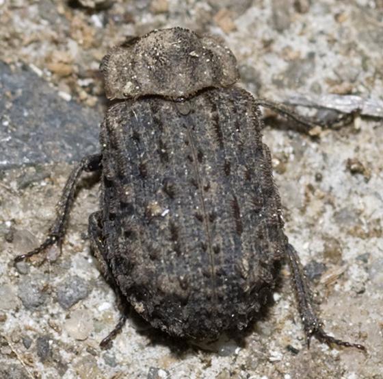 Hide Beetle - Trox variolatus