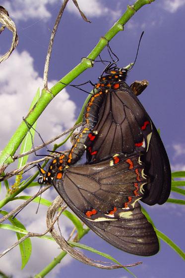 Polydamas Swallowtail - Battus polydamas - male - female