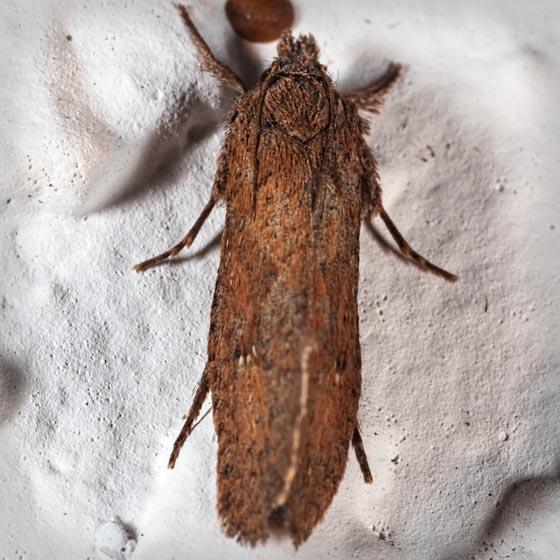 Acrolophus - Acrolophus walsinghami