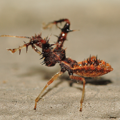 Spiny Assassin Bug - Sinea